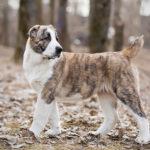 щенок сао тигрового окраса