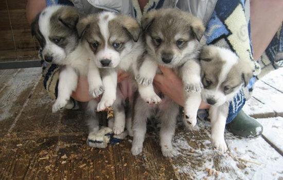 Какие прививки делать щенкам лайки