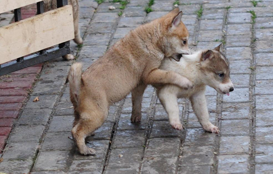 Прививки щенкам лайки когда