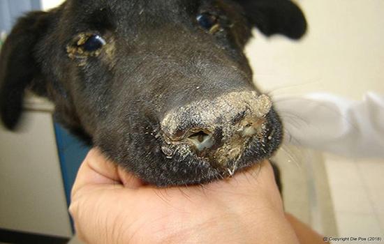 собака переболела чумкой последствия