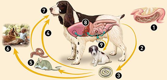 Как вылечить щенка от глистов