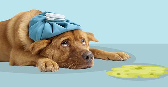 Рвота у собаки: почему щенок рвет непереваренной пищей после еды, что делать, лечение