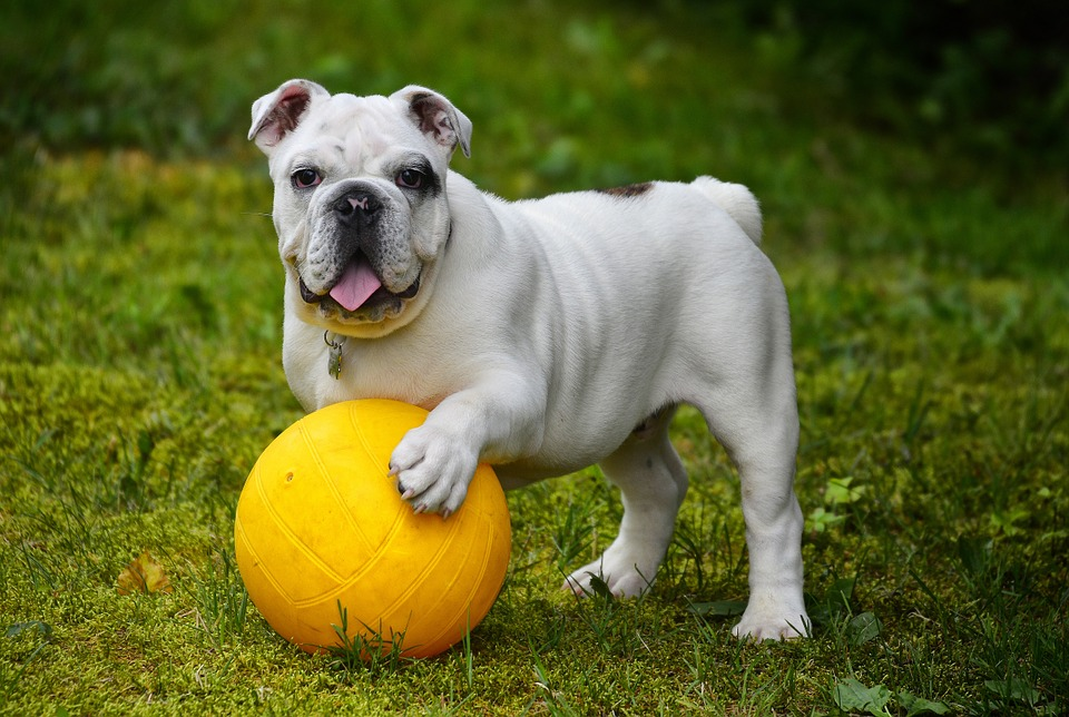 Английский Бульдог, Бульдог, Собака, Мяч