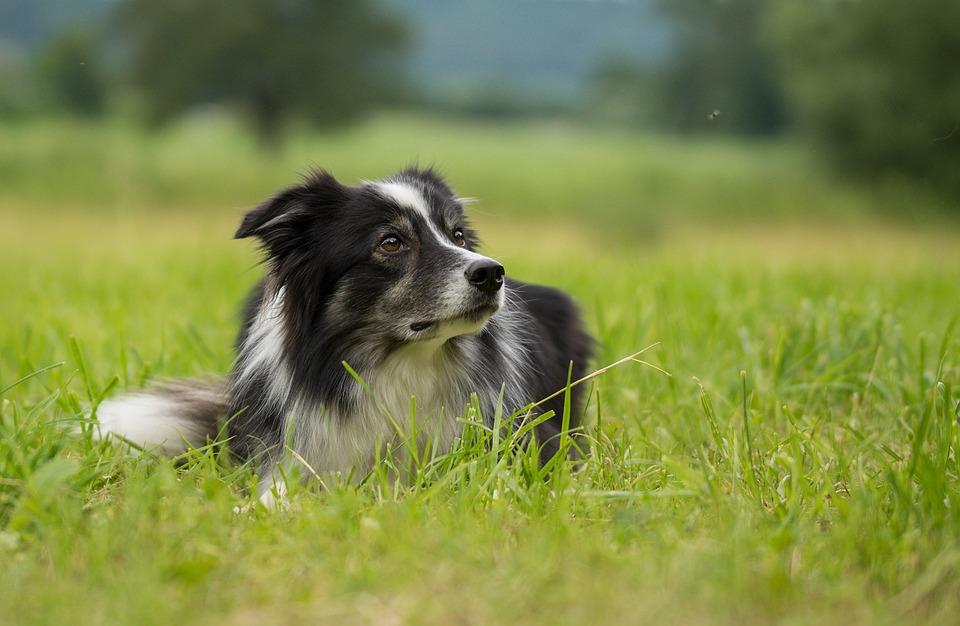Бордер Колли, Собака, Британский Овчарка