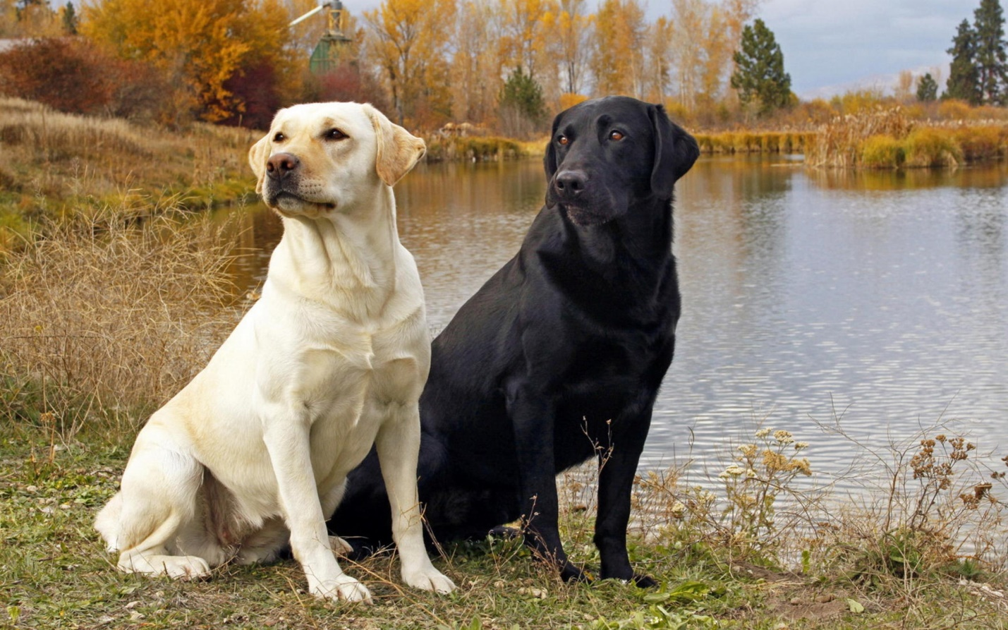 https://on-desktop.com/ru/images/wp.php?path=/wps/Animals_Dogs_Pair_of_Labrador_Retrievers_025414_.jpg&wp=17