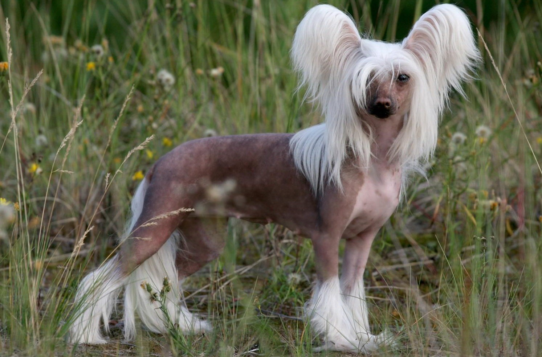 Китайская хохлатая собака.jpg