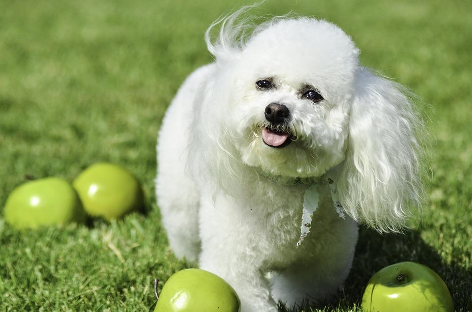 Маленькая Собака, Белая Собака, Пушистые Собаки, Щенок