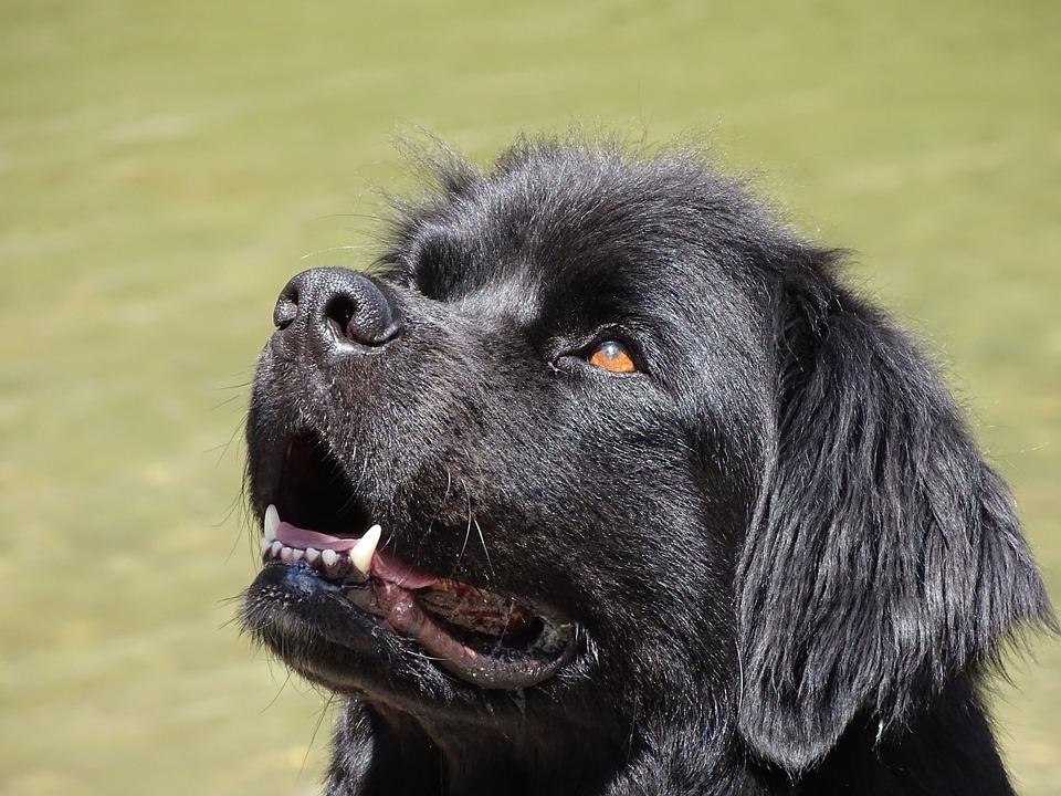 Ньюфаундленд, Собака, Черный