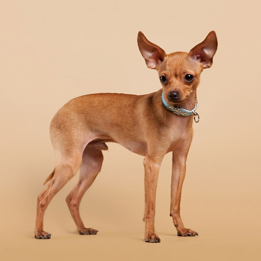 Russian-Toy-Terrier7.jpg