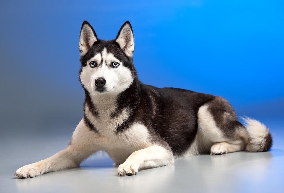 Собака, Хаски, Ездовая Собака, Животных, Молодая Собака