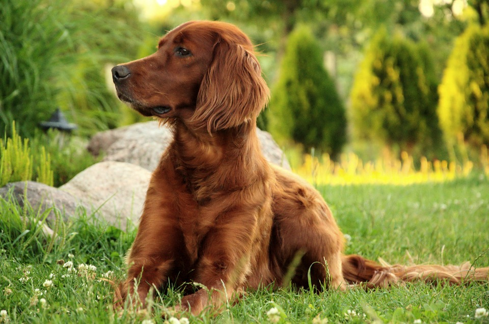 Собака, Портрет, Ирландский Красный Сеттер