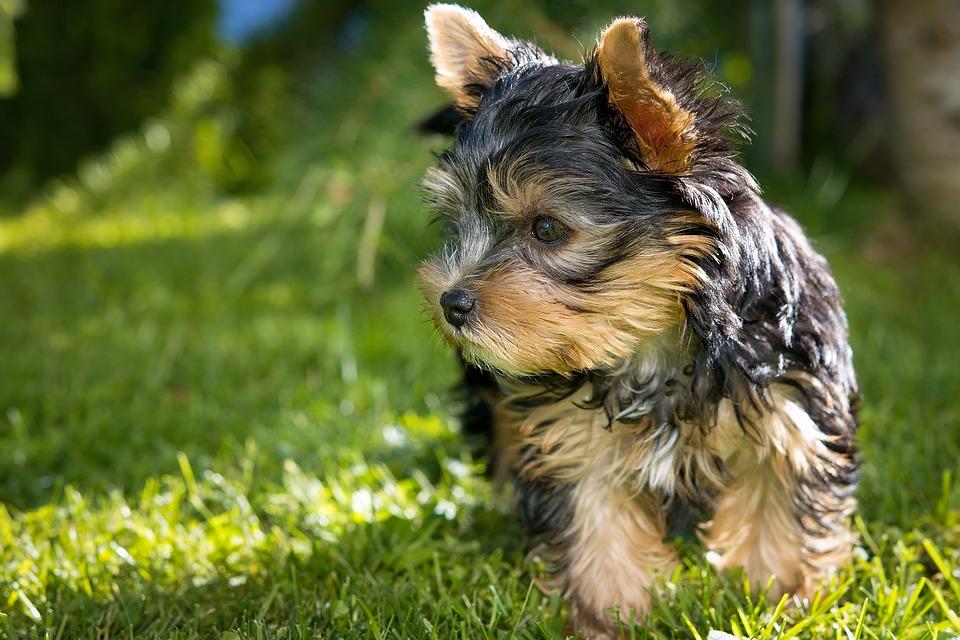 Собака, Щенок, Йоркширский Терьер