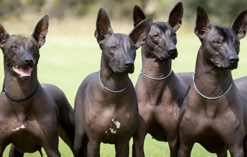Порода лысых собак название фото